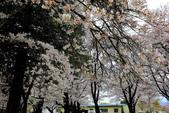 日本12天賞紫藤....VIP團之旅34-17 百年老欉櫻花在牧場內飄飄櫻吹雪...:A81Q6815.JPG