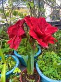 我家花園的花卉:20200309_085423-uid-496EB0F4-EA99-4377-BE15-B2DCCC000DD6.jpeg