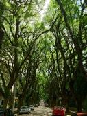 世界絕美樹隧道:5-巴西 林蔭大道.jpg