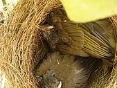 白頭翁小鳥生長過程-我家花園:20080503DSC08683小鳥離巢試飛日第十一天.JPG