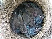 白頭翁小鳥生長過程-我家花園:20080502DSC08608孵出約十天.JPG