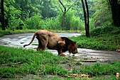 15-5-峇里島-Safari Marine Park野生動物園:IMG_1257峇里島-Safari Marine Park野生動物園.jpg
