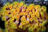 全球十大最美的珊瑚:5.杯狀珊瑚(學名:Dendrophyllidae).jpg