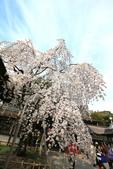 日本關西賞櫻深度之旅-平野神社- 42-22:A81Q2097.JPG