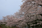 日本九州春櫻尊爵全覽之旅-1_福岡市舞鶴公園-綻放春櫻:A81Q5744.JPG
