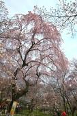 日本關西賞櫻深度之旅-平野神社- 42-22:A81Q2089.JPG