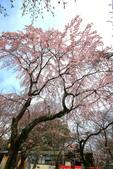 日本關西賞櫻深度之旅-平野神社- 42-22:A81Q2093.JPG