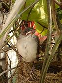 白頭翁小鳥生長過程-我家花園:20080503DSC08778小鳥離巢試飛日第十一天離巢上來玩看世界.jpg