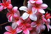 夏威夷全景 :圖片21-夏威夷-普盧默里亞Hawaiian Plumeria.jpg