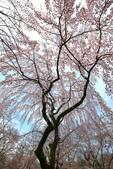 日本關西賞櫻深度之旅-平野神社- 42-22:A81Q2094.JPG