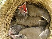 白頭翁小鳥生長過程-我家花園:20080503DSC08661小鳥離巢試飛日第十一天.JPG