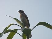 白頭翁小鳥生長過程-我家花園:20080503DSC08787小鳥之父母在關照.jpg