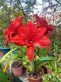 我家花園的花卉:20200309_085411-uid-D8528BD0-24F1-4AF9-BB50-BA2AFCF1CA4B.jpeg