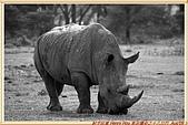 4.東非獵奇行-肯亞-納庫魯湖國家公園:_MG_0254肯亞_納庫魯湖國家公園.JPG