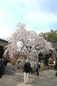 日本關西賞櫻深度之旅-平野神社- 42-22:A81Q2099.JPG