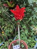 我家花園的花卉:20180428_111521-uid-8C682F70-0F1A-4C20-94CE-8A4B60B5BFE8.jpeg