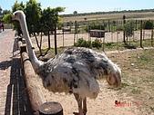 南非探索之旅:DSC01624南非-開普敦-駝鳥園
