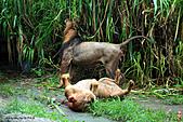 15-5-峇里島-Safari Marine Park野生動物園:IMG_1237峇里島-Safari Marine Park野生動物園.jpg