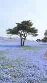 日本12天賞紫藤....VIP團之旅34-31日立海濱粉蝶花+鬱金香公園:DSC00712.JPG
