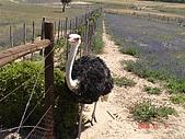 南非探索之旅:DSC01626南非-開普敦-駝鳥園