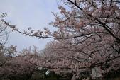 日本九州春櫻尊爵全覽之旅-1_福岡市舞鶴公園-綻放春櫻:A81Q5735.JPG