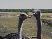 南非探索之旅:DSC01628南非-開普敦-駝鳥園