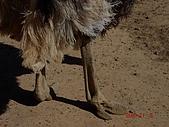 南非探索之旅:DSC01629南非-開普敦-駝鳥園