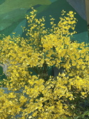 繡球花綻開在陽明山頂湖園區:20200604_123821-uid-E23B5D5C-60C9-48D7-9411-E313AFAA3F60.jpeg