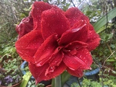 我家花園的花卉:20200310_133616-uid-32CC2AA7-DDEE-4583-BC5A-283402F08276.jpeg