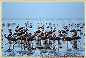 4.東非獵奇行-肯亞-納庫魯湖國家公園:_MG_0541肯亞_納庫魯湖國家公園_紅鶴群Flamingo.JPG