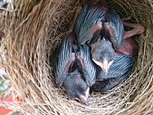 白頭翁小鳥生長過程-我家花園:20080429DSC08540孵出約七天.JPG