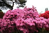 日本12天賞紫藤....VIP團之旅34-34笠間杜鵑花公園:A81Q8331.JPG