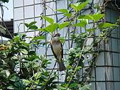 白頭翁小鳥生長過程-我家花園:20080503DSC08643小鳥離巢試飛日.JPG