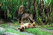 15-5-峇里島-Safari Marine Park野生動物園:IMG_1239峇里島-Safari Marine Park野生動物園.jpg
