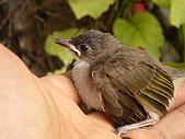 白頭翁小鳥生長過程-我家花園:20080503DSC08767小鳥離巢試飛日第十一天在花園跳上我的手