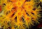 全球十大最美的珊瑚:5-1.杯狀珊瑚(學名:Dendrophyllidae).jpg