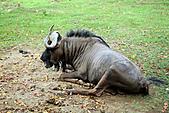 15-5-峇里島-Safari Marine Park野生動物園:IMG_1115峇里島-Safari Marine Park野生動物園.jpg