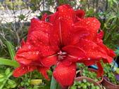 我家花園的花卉:20200309_085444-uid-18754194-4F4F-4FCC-83E9-F46DEF32A5D3.jpeg