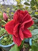 我家花園的花卉:20200314_133636-uid-C65CFF77-E587-432C-A62E-0531B3169843.jpeg