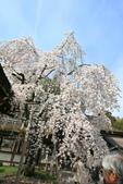 日本關西賞櫻深度之旅-平野神社- 42-22:A81Q2116.JPG