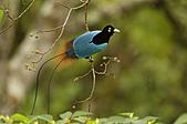 像花一樣的罕見鳥兒_天堂鳥:image001.jpg
