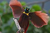 像花一樣的罕見鳥兒_天堂鳥:image002.jpg
