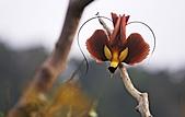 像花一樣的罕見鳥兒_天堂鳥:image003.jpg
