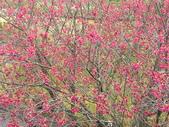 日本關西賞櫻深度之旅-鳥取花迴廊42-8:IMG_2350.JPG