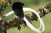 像花一樣的罕見鳥兒_天堂鳥:image005.jpg