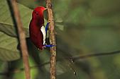 像花一樣的罕見鳥兒_天堂鳥:image006.jpg