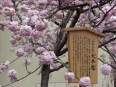 罕見品種的日本櫻花_大阪賞櫻名所造幣局 :圖片3.jpg