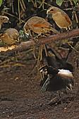 像花一樣的罕見鳥兒_天堂鳥:image008.jpg