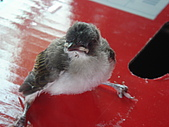 白頭翁小鳥生長過程-我家花園:20080503DSC08697小鳥離巢試飛日第十一天飛進佛堂跳上我的手