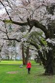 日本12天賞紫藤....VIP團之旅34-17 百年老欉櫻花在牧場內飄飄櫻吹雪...:A81Q6835.JPG
